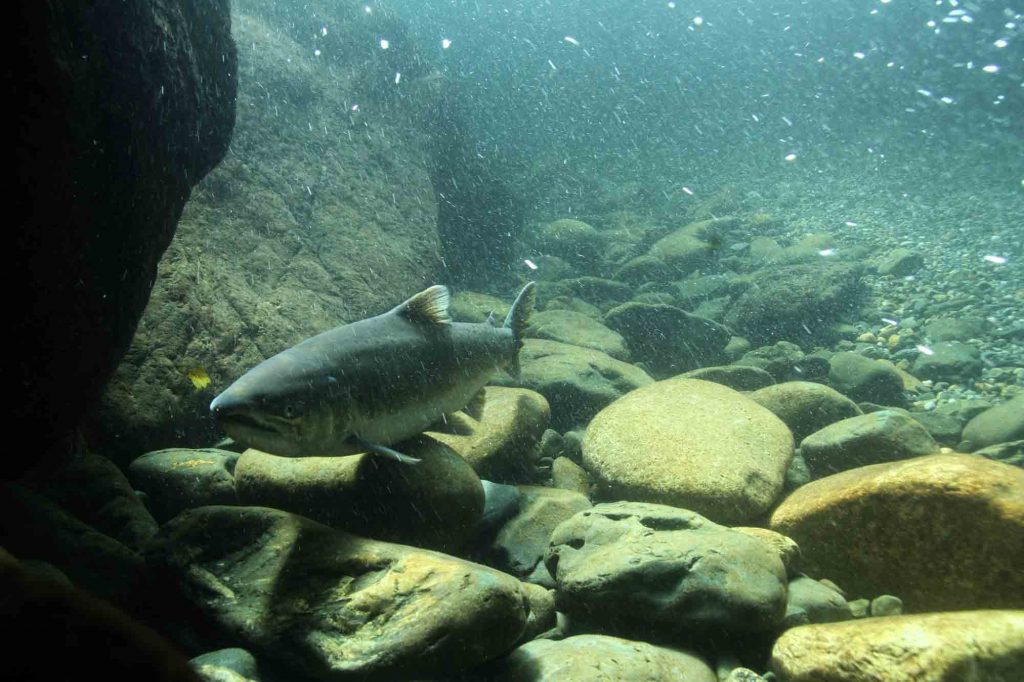 Die-off prompts ODFW to close Wilson River to salmon angling