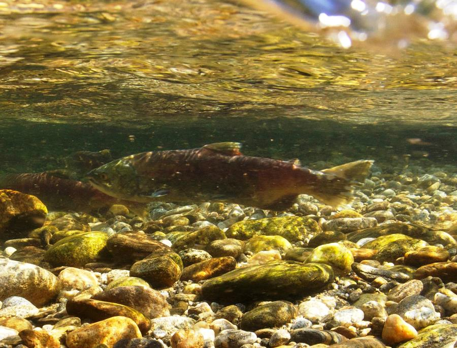 Oregon reopens Columbia River salmon/steelhead fishing